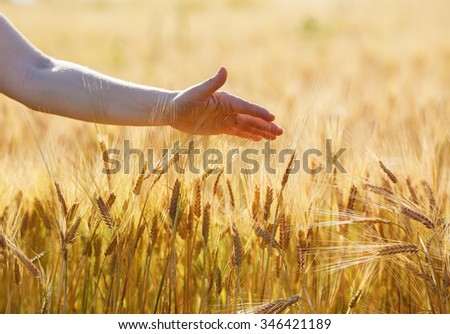 Woman hand touches wheat ears. Wheat field. Shallow depth of field. Selective focus. - stock photo