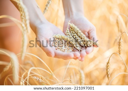 Woman hand touching wheat ears on the field  - stock photo