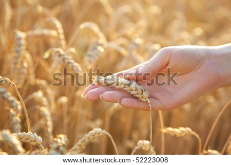 Woman hand with eer of wheat. Soft light. - stock photo