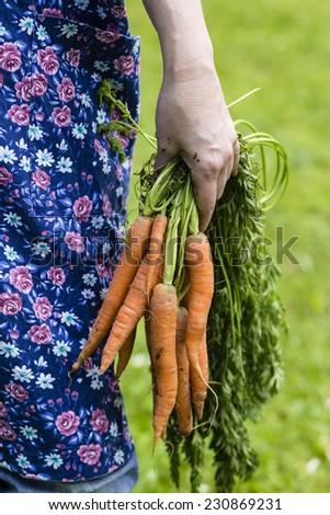 Woman hand with harvested carrots in a garden - stock photo