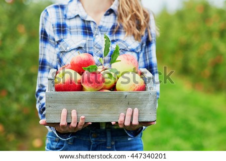 Woman hands holding a crate with fresh ripe organic apples on farm - stock photo