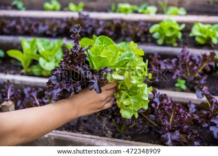 woman hands picking lettuce in vegetable garden