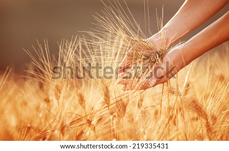 Woman hands touching golden wheat field, happy farmer enjoying great harvest, agricultural industry, autumn season concept - stock photo
