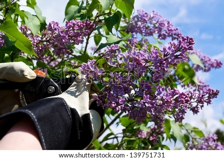 Woman hands with gloves cutting off lilac flowers - stock photo