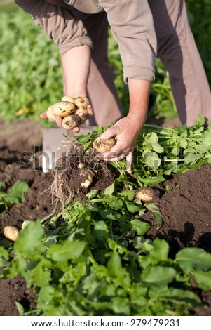 woman harvesting potatoes on own garden with bucket and spade - stock photo