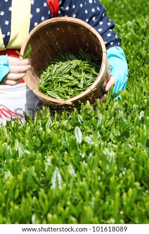 Woman harvesting tea leaves - stock photo