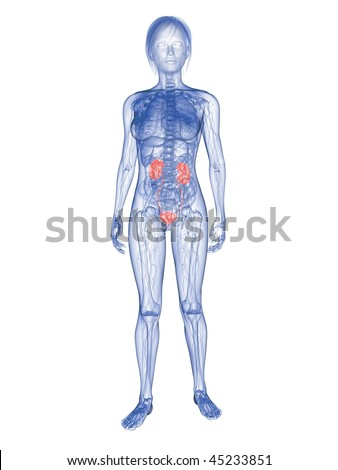 woman - highlighted urinary system - stock photo