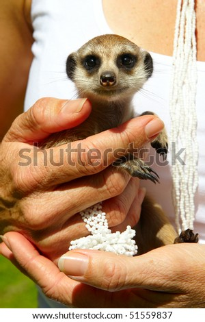 Woman holding a small meerkat in her hands - stock photo
