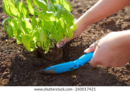 Woman holding basil at planting with garden shovel - stock photo