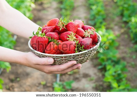 woman holding basket with strawberry - stock photo