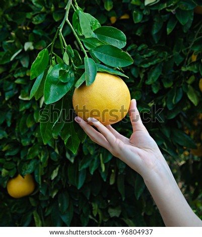 woman holding ripe grapefruit