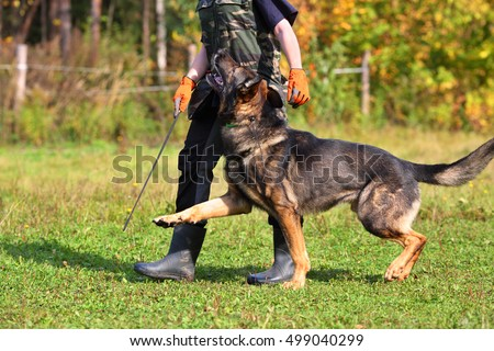 Woman is dog trainer with German Shepherd in meadow on summer day, part of body
