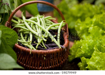 Woman - just feet to be seen - harvesting green  string beans in her garden, cutting them with a knife and putting them in a basket, FOCUS ON THE BASKET - stock photo