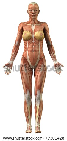 woman muscular system stock illustration 79301428 - shutterstock, Muscles