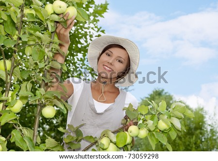 Woman picking apples in a small organic apple orchard - stock photo