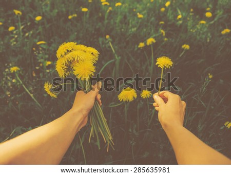 Woman picking flowers yellow dandelions on meadow in summer. Point of view shot. Image with instagram vintage color effect - stock photo