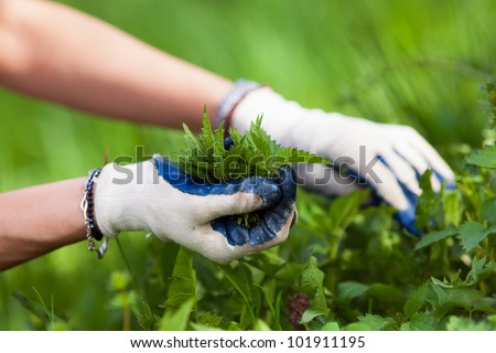 Woman picking fresh nettle leaves with protection gloves