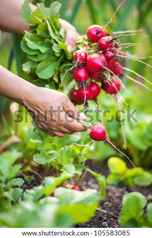 woman picking fresh radish from her garden - stock photo