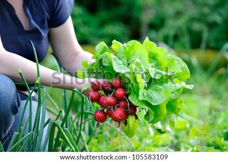 woman picking fresh radish from her garden - stock photo