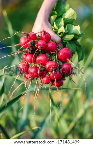 woman picking fresh radish from her vegetable garden - stock photo