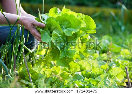 woman picking fresh salad from her vegetable garden - stock photo