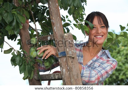Woman picking plums - stock photo