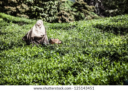 Woman picking tea leaves in a tea plantation, Munnar is best known as India's tea capital  ( HDR image ) - stock photo