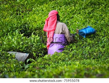 Woman picking tea leaves in a tea plantation - Munnar, Kerala, India - stock photo