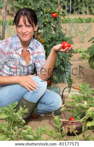 Woman picking tomatoes in her kitchen garden - stock photo