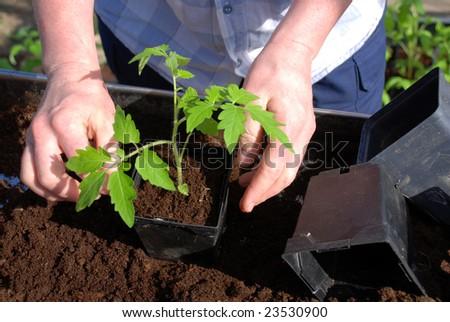 woman planting a tomato plant - stock photo