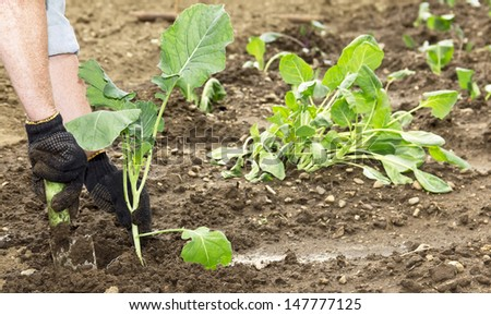 woman planting cabbage