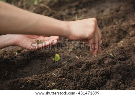 woman planting dill seeds in the ground in the garden on a summer day - stock photo