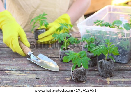 Woman planting the tomato seedlings at peat tablets - stock photo