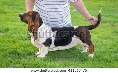 Woman poses her one year old Basset hound (Canis lupus familiaris) for showing.  Patchy coloured hound with floppy ears holds for a showing pose on a hobby farm in Ontario, Canada.