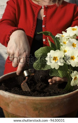 Woman potting up a primrose in the spring. - stock photo