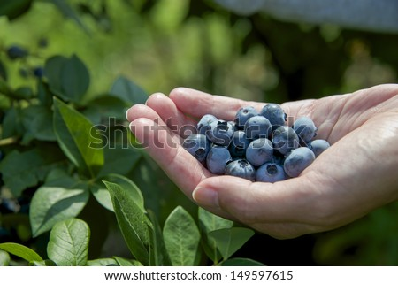 woman presenting blueberries in hand - stock photo