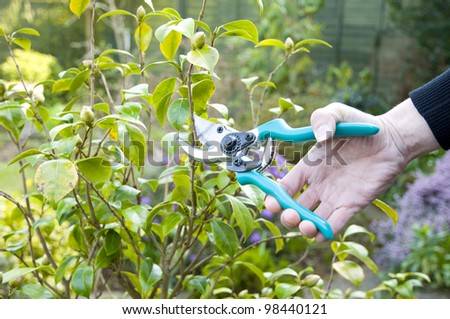 woman pruning with secateurs in garden