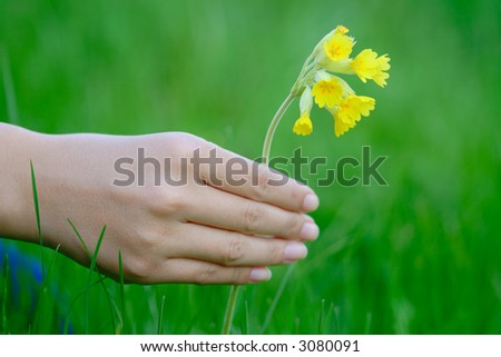 Woman's hand holding a yellow flower (primrose)