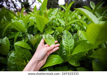 woman's hand holding fresh green leaves, spring concept, new life of nature - stock photo