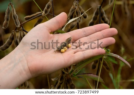 Woman's hand holding soybean pods ready to harvest