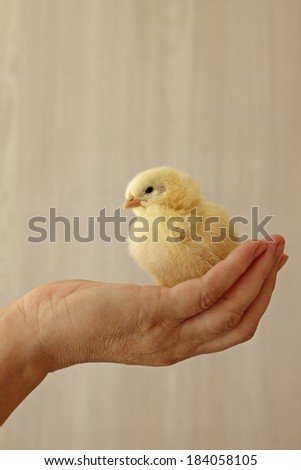 Woman's hand holds cute day old chick, close-up - stock photo