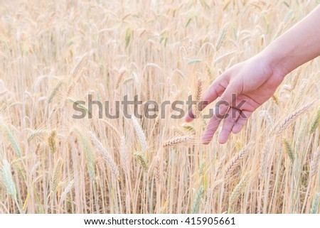 Woman's hand touch barley ears at sunset