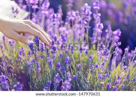woman's hand touching lavender - stock photo