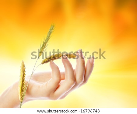Woman's hand with wheat herb - stock photo