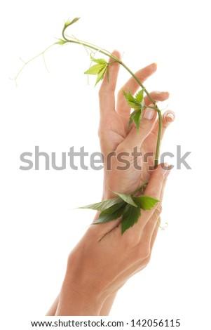 Woman's hands with Parthenocissus quinquefolia - stock photo
