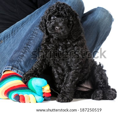 woman sitting with her dog - 7 week old barbet puppy - stock photo