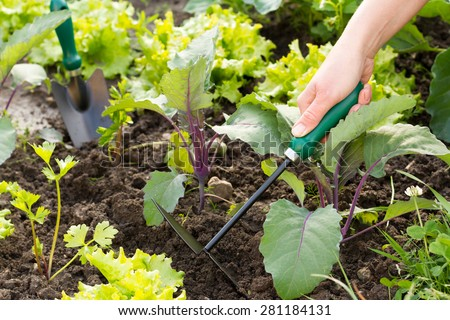 Woman taking care of her small field of organic vegetables like a lettuce, kohlrabi  - stock photo