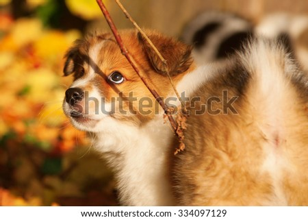 woman teasing an Elo puppy with a branch - stock photo
