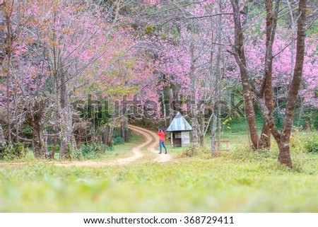 woman traveler take a photo and enjoying in cherry blossom garden, chiang mai.