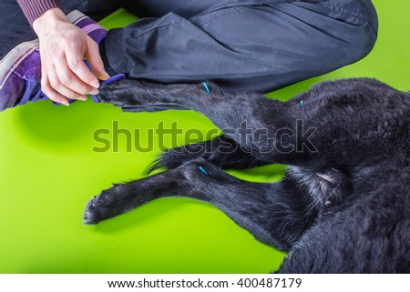 woman treats sick dog with acupuncture - stock photo